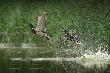 Image result for ducks leaving