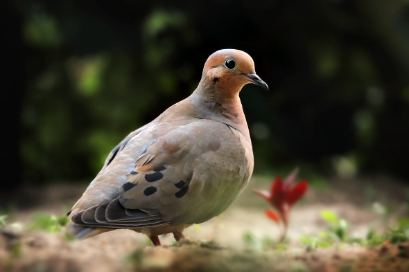 Evening Mourning Dove
