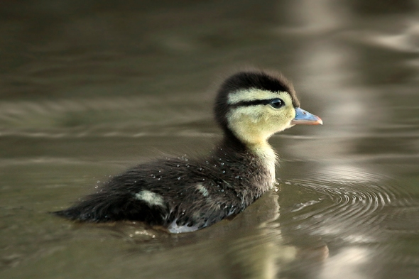One Tiny Duck