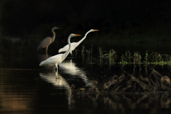 Egrets in August