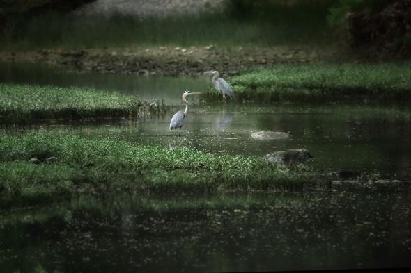 Herons on the Water2