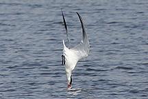 Tern Diving_3086