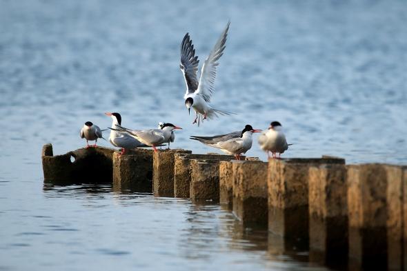 Terns on the Breakwater