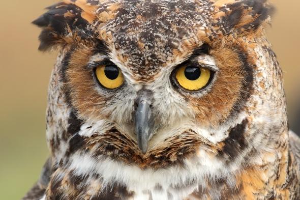Captive Owl