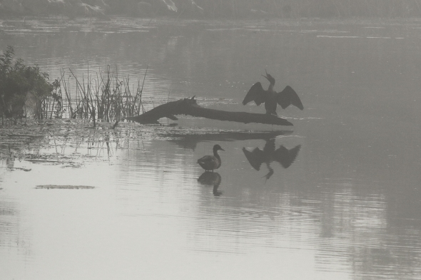Early Morning Waterfowl