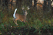 Buck in the Distance