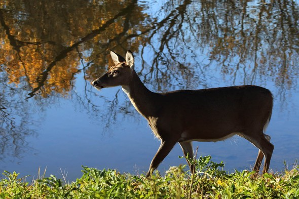 Doe by the River