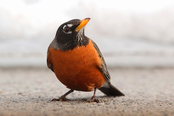 A Robin on The Road