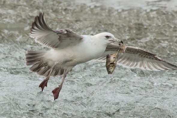 Gull in Canal II