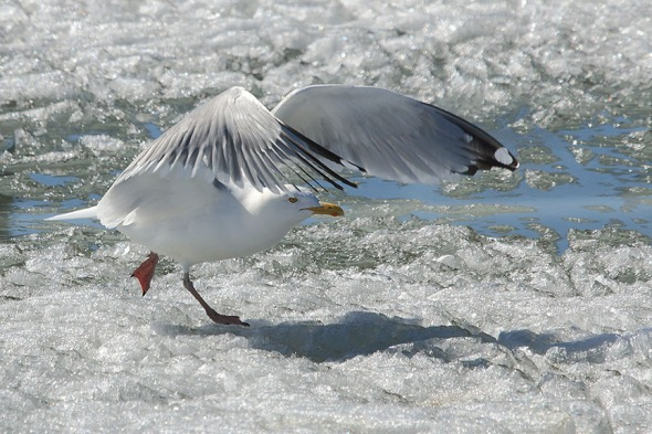 Gull in Canal