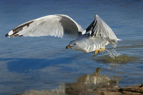 Gull in Inland Lake