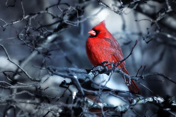 HW cardinal
