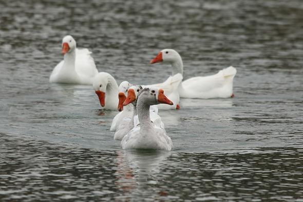 HW blog Geese